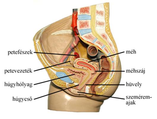 hogyan kell kezelni a kismedencei szervek visszérit nem visszér, hanem lábfájdalom