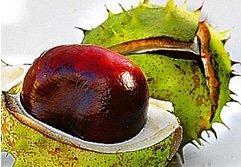 tinktúra a gesztenye gyümölcsein a visszér ellen
