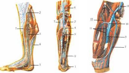 a comb nagy saphena vénájának varikózus vénái