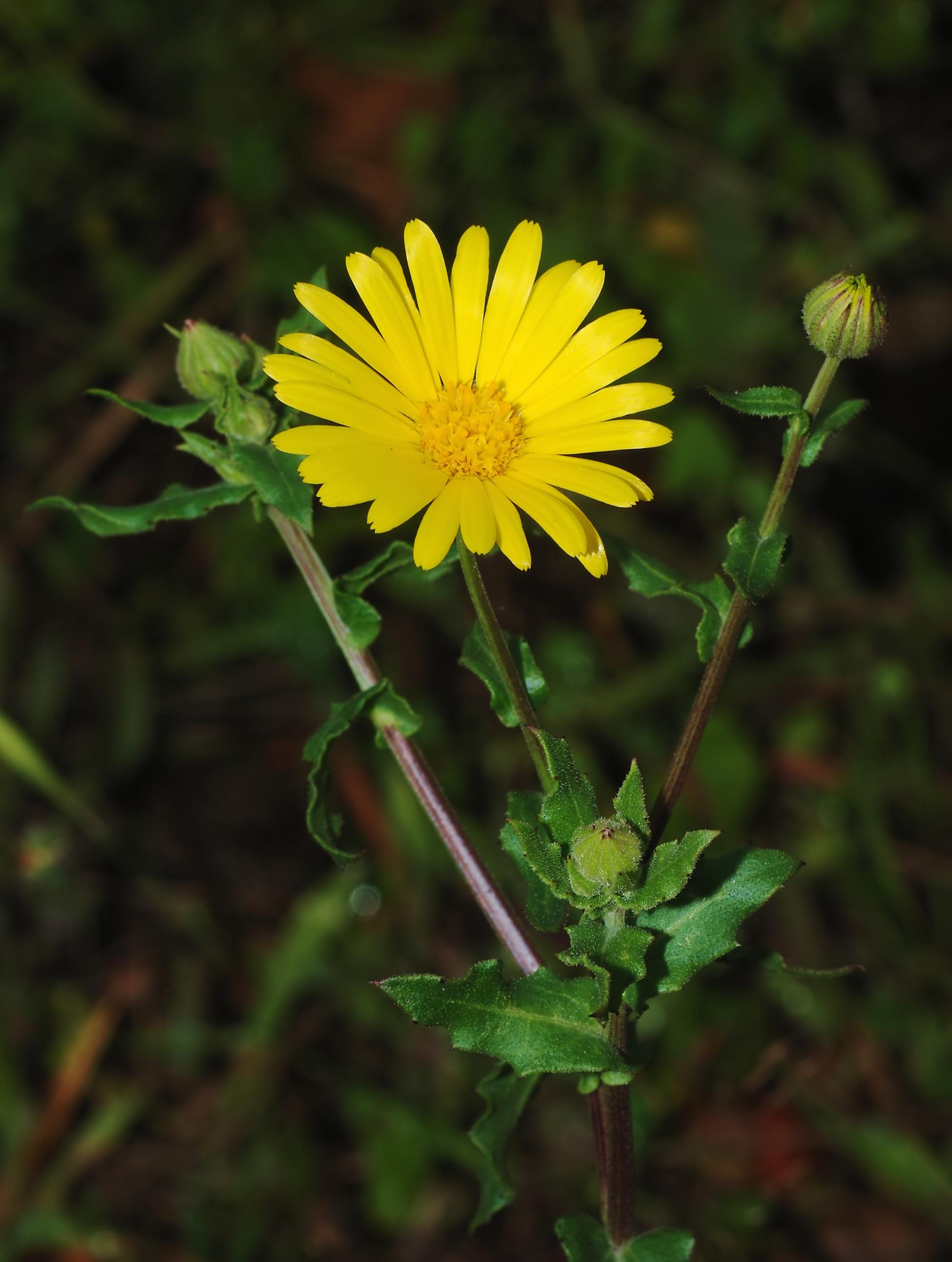 Körömvirág: gyógyír kívül-belül